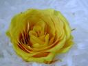 大きい薔薇です!檸檬色