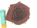 深紅の薔薇です大きい品種必見!